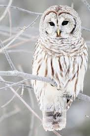 Where Does The Barn Owl Live Best 25 Beautiful Owl Ideas On Pinterest Owls Owl Eyes And