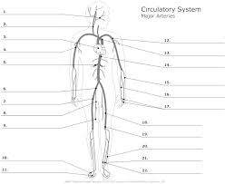major arteries of the body unlabeled anatomy u0026 physiology