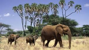 african elephant hd wallpaper 18624 baltana