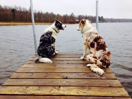 2 g rose australian shepherds 77 best adorable dogs images on pinterest animals dogs and