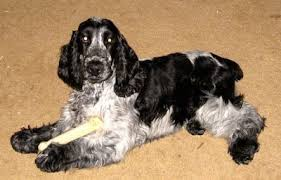 imagenes de english cocker spaniel english cocker spaniel dog breed information and pictures