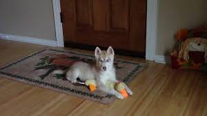 puppy thanksgiving a husky puppy thanksgiving u2013 siberian husky puppies for sale