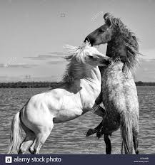 white mustang horse white horses fighting stock photos u0026 white horses fighting stock