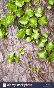 hydrangea anomala petiolaris climbing hydrangea stock photos
