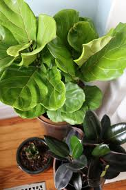 Fiddle Leaf Fig Tree Care by 17 Apart Where We Found Our Fiddle Leaf Fig Tree