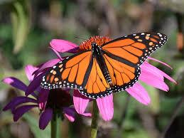the butterfly highway carolina wildlife federation