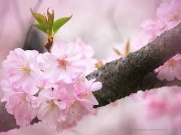 blossom trees cherry blossom trees of branch brook park newark1