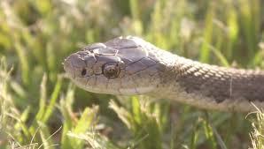 snake ecology and conservation google