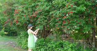 edible native plants pacific northwest wild harvests red elderberry experiment 1
