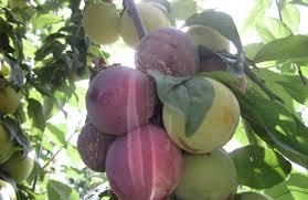 chambre agriculture 82 la rouille s installe chez les pruniers réussir fruits légumes