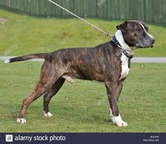 american pitbull terrier apbt american pitbull terrier standing full body stock photo royalty