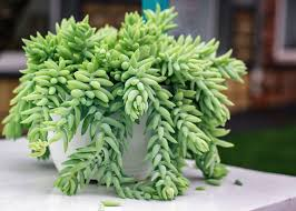 indoor vine plant 6 easy and on trend vines you can grow indoors garden club