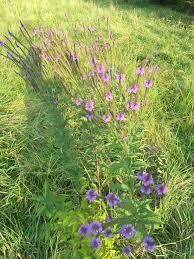 iowa native plants purple flowers weed ask an expert