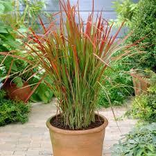 imperata baron ornamental grass kert