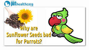 sunflower seeds are bad for parrots pethealthcare co zasunflower