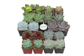 desk cactus shopsucculents 20 pack rosette succulent desk top plant in pot