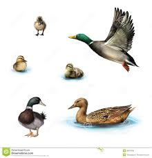 water birds ducks and ducklings in the water royalty free stock