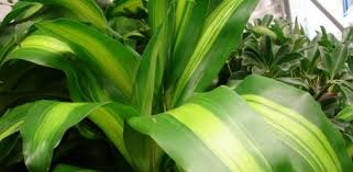 best houseplants to improve indoor air quality today u0027s homeowner