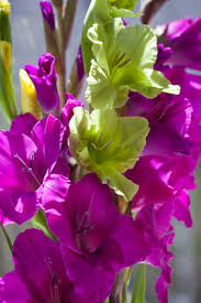 gladiolus flowers how to select fresh cut gladiolus floraphilia net flower photo