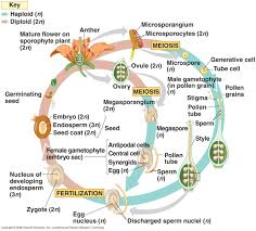 Life Cycle Of A Flowering Plant - life cycle tropisms hormones plant project university of vermont