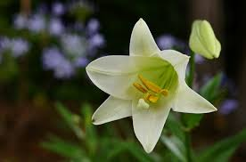 White Lily Flower Easter Lily Free Pictures On Pixabay