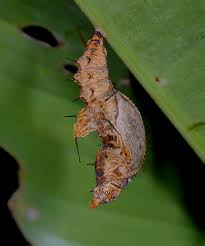 butterfly lifecycle chrysalis pupa