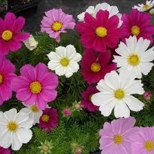 Flower Seeds Online - buy flower seeds buy cosmos bipinnatus dwarf sensations mixed
