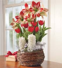 amaryllis tulip and hyacinth noel gift garden flowers and bulb