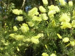australian native edible plants the garden of st erth blackwood margaretgriffin