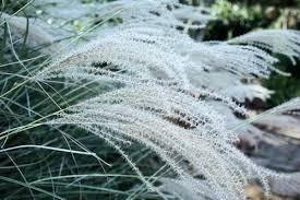 winterizing ornamental grasses a guide to landscape design