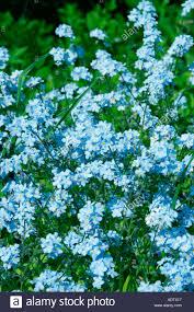 blue flowers of garden plant forget me not botanical name myosotis