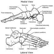 Os Calcaneus Calcaneus Radiology Reference Article Radiopaedia Org