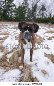 boxer dog grooming boxer dog grooming stock photo royalty free image 3699317 alamy