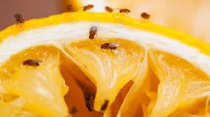 comment se d饕arrasser des moucherons dans la cuisine se d饕arrasser des moucherons dans la cuisine 28 images