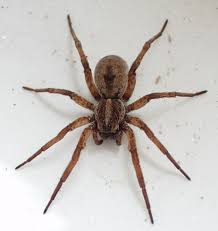 wolf spider facts and pictures the infinite spider