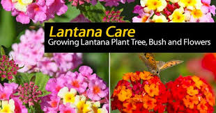 how well would a plant grow under pure yellow light lantana plant how to grow and care for lantana trees