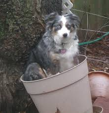 australian shepherd gray breeding miniature australian shepherds blue merle female miss cloe
