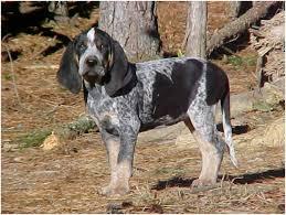 bluetick coonhound beagle bluetick coonhound puppies facts diet pictures behaviour