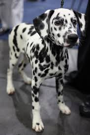 193 dogs dalmations images dalmatian puppies