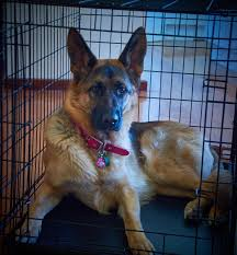 Comfortable Dog How To Make A Dog Crate More Comfortable 9 Tips
