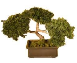 amazon com bonsaiboy artificial japanese cedar bonsai tree