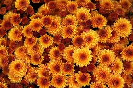 mums 101 how to care for your fall flowers landscaping host