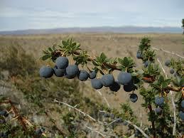 arbuste feuillage pourpre persistant les berberis faciles rustiques persistants et décoratifs