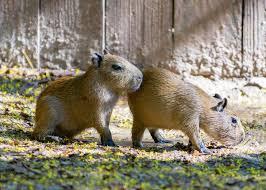 Houston Zoo Lights Prices by Twin Capybaras Born At The Houston Zoo Houston Chronicle
