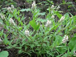 native plants of south dakota seneca snakeroot