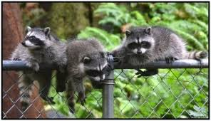 Raccoons In Backyard Do Americans Really Raccoons Updated 2017