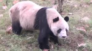 bloody panda attack wildlife expert rushed to hospital with