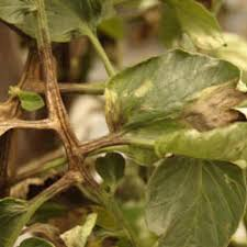Plant Diseases With Pictures - troubleshooting tomato problems tomato pests gardener u0027s supply