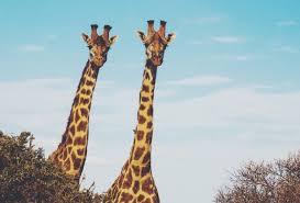 how the giraffe got its long neck cosmos