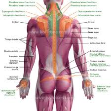 Human Body Muscles Images Posterior Muscles Of The Human Body